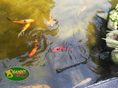 The coy fish pond by the lobby